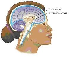 picture of hypothalamus